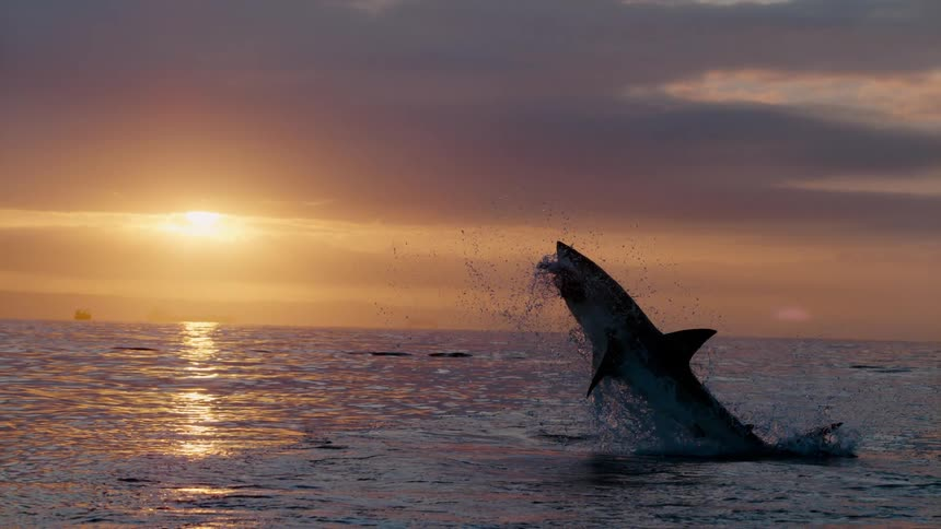 A shark jumps out of the water catching something in its mouth Stock