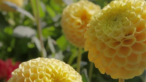 Flower with white petals above smaller yellow flowers stock footage pale yellow flowers in the sunlight mightylinksfo